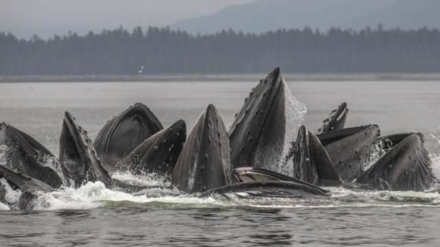 座头鲸集体捕食