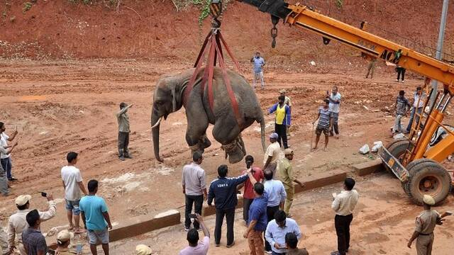 野生大象被起重機吊起