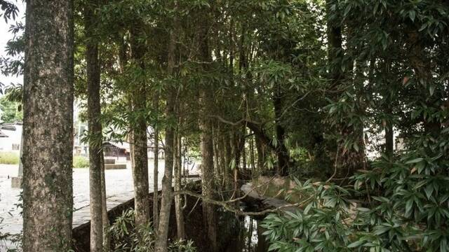 小村庄里长着上千株金丝楠木