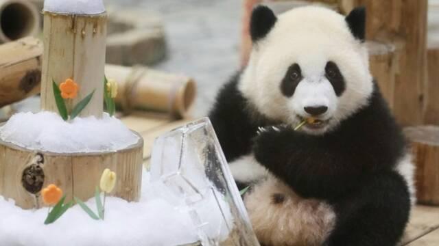 """旅日大熊猫""""彩浜""""庆祝一周岁生日"""