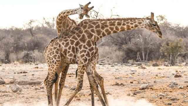 纳米比亚:雄性长颈鹿为争夺配偶交战