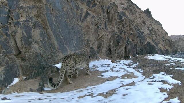 青海昆侖山南山口首次拍攝到雪豹影像