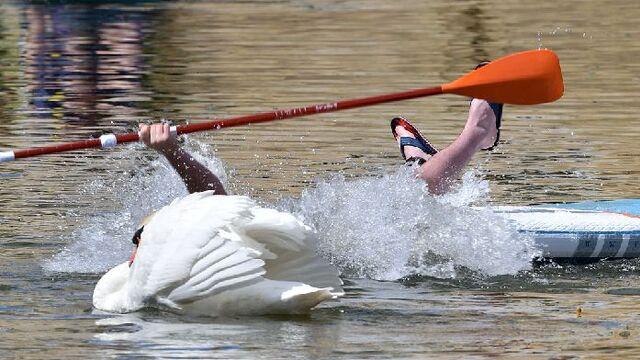 男子靠近天鹅巢穴遭报复 惨被撞翻落水