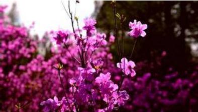 达子香赏花节开幕 为乡村文化旅游注入新活力