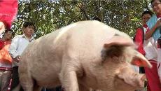 """汶川""""猪坚强""""还健在 相当于88岁老人"""