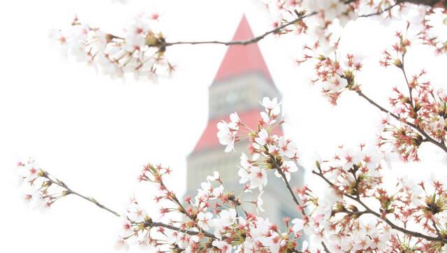 最是人间四月天,鹤壁樱花美绝伦