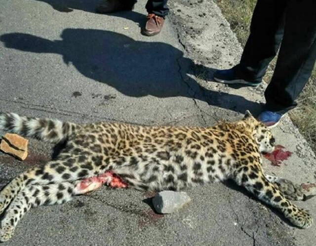 死亡动物为国家一级保护动物金钱豹