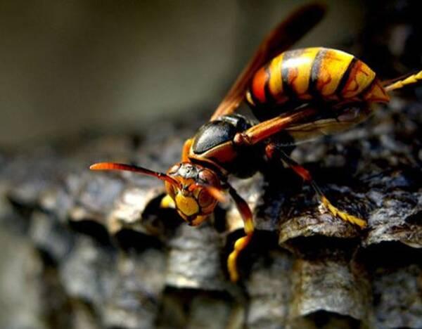 杀人蜂的毒素主要损伤是心脏,其中含有的一种蜂毒肽具有收缩血管的作用。