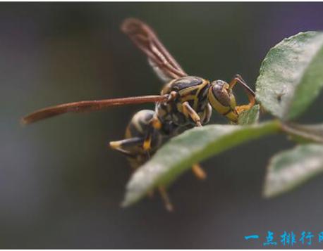 但是有一种由非洲蜜蜂和野蜂杂交出来的杀人蜂却令人闻风丧胆,它们非常凶暴,会主动攻击人类,而且体内有剧毒,能致人死亡。