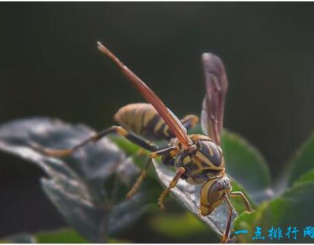 这种蜜蜂常成群追击靠近其蜂巢的人畜,能追逐目标达数百米之外。在过去30年里,非洲杀人蜂在美洲各国螫死了数以千计的家畜和1000多人。