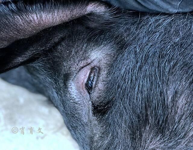 这头已经被捆绑等待挨刀的大黑猪,也许是恐惧眼睛里流出了泪水。
