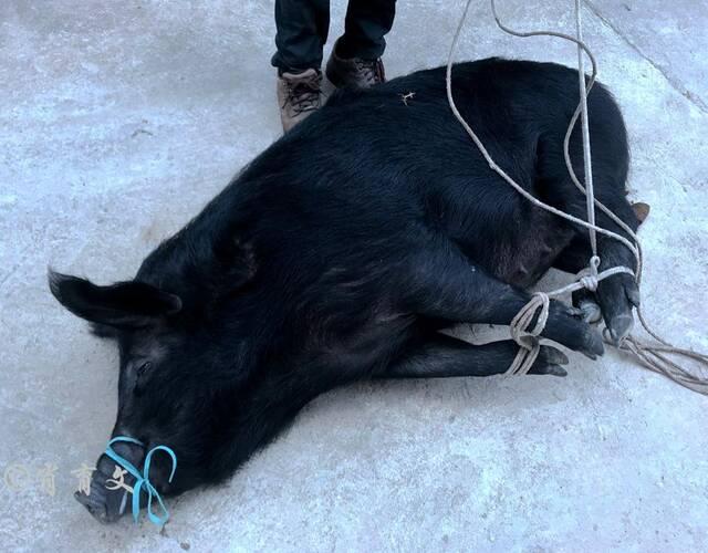 这里的猪都是放养的黑皮猪,不圈养不喂食人工饲料,个头不大但肉质鲜嫩有嚼头。