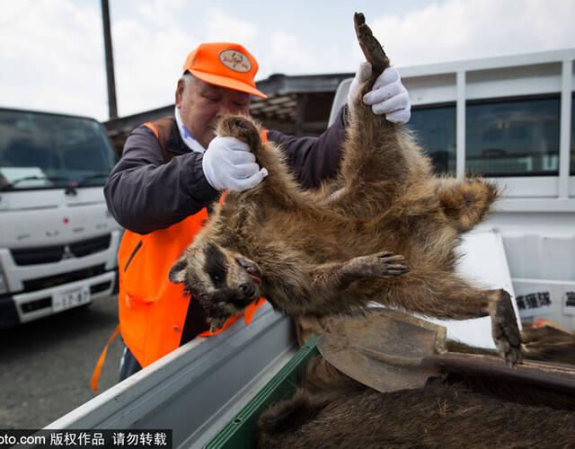 当地时间2017年3月30日,日本福岛,日本相关防控部门猎杀放射变异野猪.