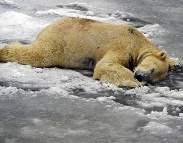 柏林动物园的北极熊躺在雪上休息