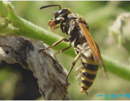 非洲杀人蜂是由非洲普通蜜蜂跟丛林里的野蜂交配繁殖出来的新品种,它们遗传了非洲蜜蜂凶暴的特性,具有非常强的攻击性,而且毒性很大。