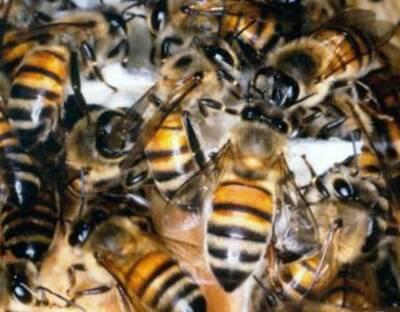 非洲杀人蜂的产生来源于人类自己的疏忽行为。为了培育一种产蜜量高的蜜蜂,1956年,圣保罗大学研究室引进了35只以勤劳著称的非洲蜜蜂,但鉴于这种蜜蜂脾气狂暴,毒性很大,研究人员特地在蜂箱入口都安上了铁丝网,防止它们跑出去。