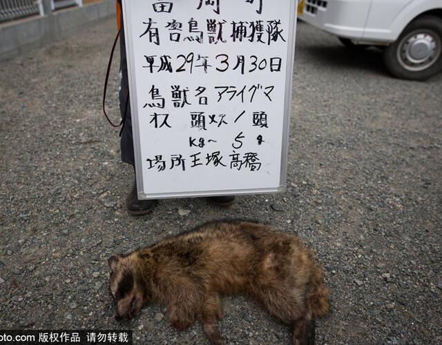 福岛核辐射重污染区变异野猪泛滥成灾-jpg