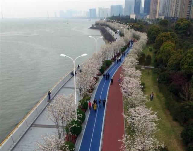 1800株樱花绽放杭州钱塘江畔