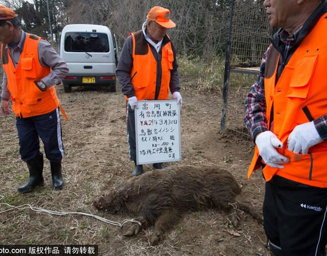 福岛核辐射重污染区变异野猪泛滥成灾