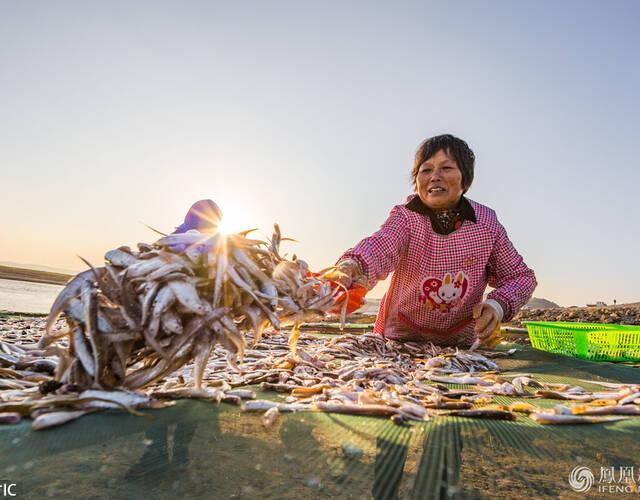 捕获上岸的凤尾鱼被渔民平铺在岸边的网布上,场面壮观。