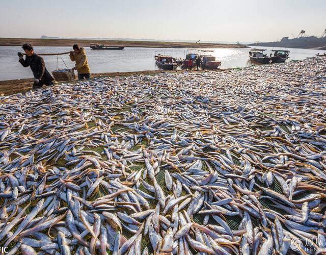 2017年12月17日,江西都昌县,冬季正是晒鱼的好时节。连日来,渔民抓住晴好天气条件,在鄱阳湖畔集中晾晒凤尾鱼。图:东方IC 熊国涛/摄