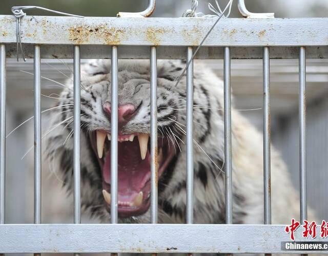 云南野生动物园是中国十大老虎繁殖基地之一.图为关在笼子里的老虎.