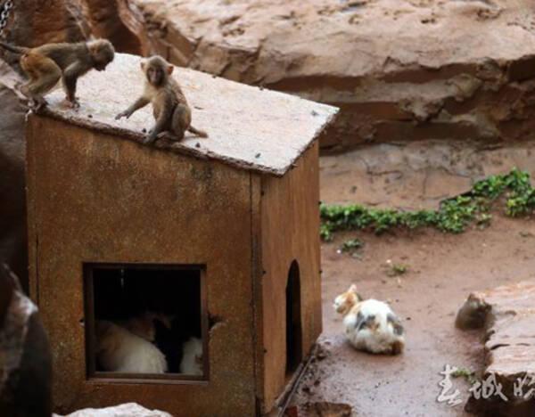 老鼠不仅偷吃投喂猴子的食物,还影响游客对猴子的观瞻.