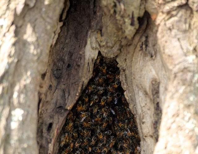 谁知不明就里的值班人员擅自取下了铁丝网,让二十几只非洲蜜蜂逃了出来,它们和当地野外的蜜蜂交配后就形成了这种令人闻风丧胆的杀人蜂。
