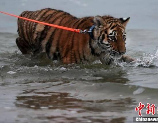 虎崽被人类家庭抚养 画面好有爱