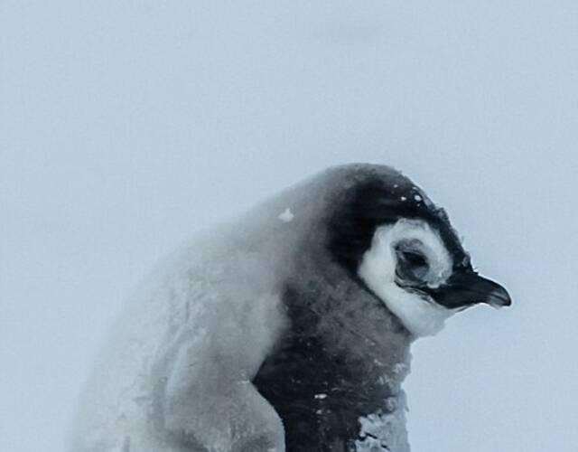 南极太冷,企鹅都被冻成狗了!