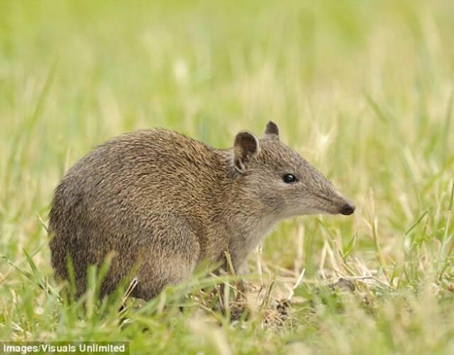 袋狸是澳大利亚的特有动物,生活于从荒漠到热带雨林的不同生活环境中