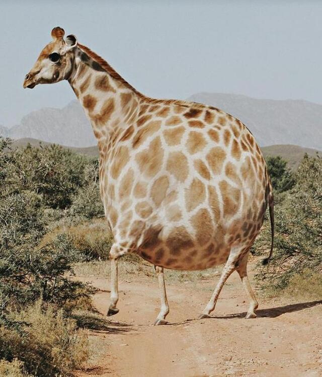 """艺术家借助ps实现:动物们都胖成了""""气球"""",滚滚最可爱?"""