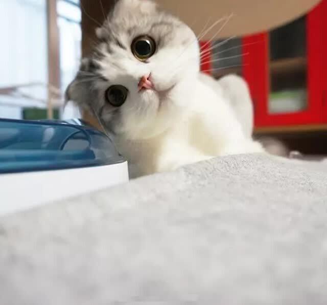 最萌的猫_中国最萌猫咪蹿红 融化人心的喵星生物