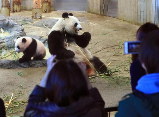 旅日大熊猫香香首次亮相 日本再掀大熊猫热图片 43468 640x472