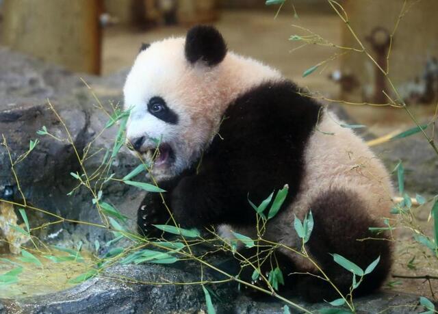 旅日大熊猫香香首次亮相 日本再掀大熊猫热图片 50092 640x459