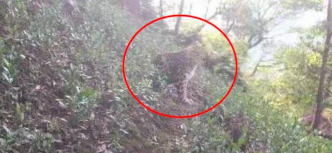 杭州所现野生动物确认为豹子,一茶农距其最近时约3米