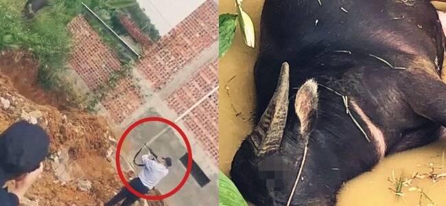广西72岁老人遭疯牛攻击身亡 警察携枪到场果断击毙