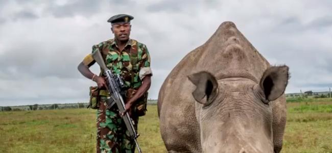 地球上仅存两头北方白犀牛,警卫24小时持枪守护