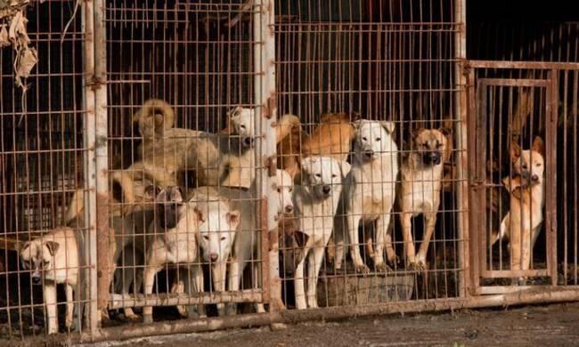 """韩国""""狗肉农场"""" 宠物狗在饥饿中等死"""""""