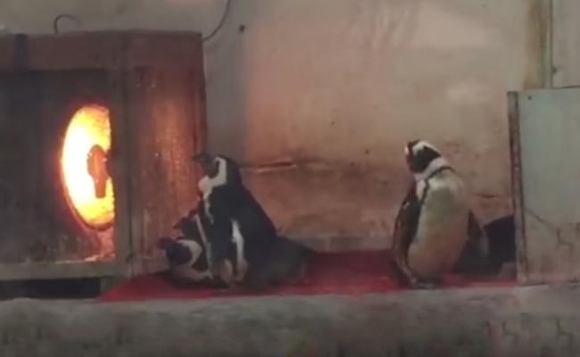 成都:企鹅冷到排队烤火