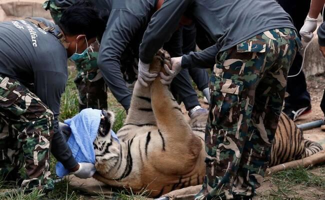 突袭虎庙:拯救147只老虎