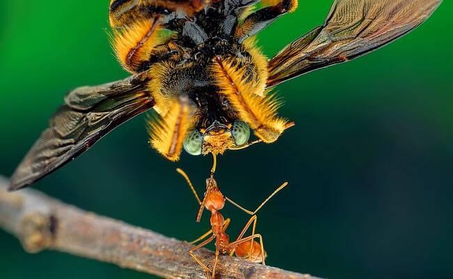 小蚂蚁举大蜜蜂