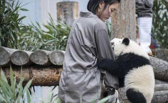 17只2017年新生熊猫宝宝集体亮相拜年