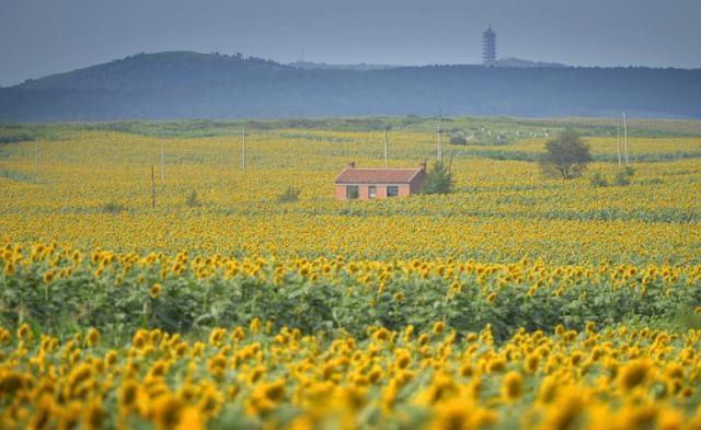 沈阳三千亩向日葵盛开丨组图
