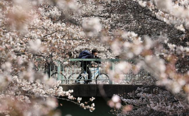 东京樱花盛开