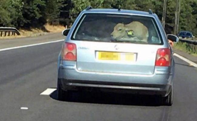 英国轿车后座塞牛 或涉嫌犯罪