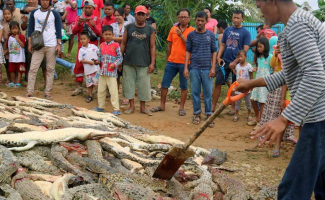 印尼鳄鱼疑咬死人 村民宰300条报复