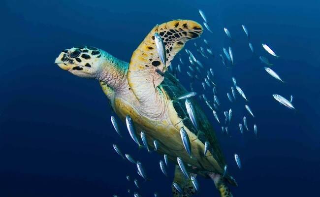 那些濒临灭绝的海龟