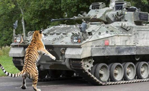 英军逛动物园 老虎:你感动吗?装甲车:不敢动不敢动
