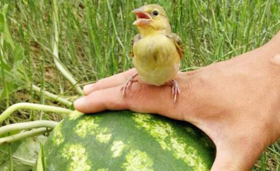 民族天赋!中国军人在吉布提荒漠种出大西瓜
